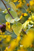 WHICHFORD POTTERY, WARWICKSHIRE: PLANT PORTRAIT OF YELLOW LEAVES OF HELICHRYSUM PETIOLARE LIMELIGHT, ANNUALS, FOLIAGE