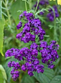 WHICHFORD POTTERY, WARWICKSHIRE: PLANT PORTRAIT OF PURPLE FLOWERS OF HELITROPIUM ARBORESCENS PRINCESS MARINA, SCENTED, FRAGRANT, BLOOMS