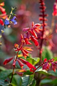 WHICHFORD POTTERY, WARWICKSHIRE: PLANT PORTRAIT OF RED FLOWERS OF SAGE, SALVIA EMBERS WISH