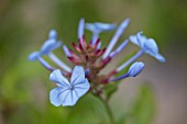 WHICHFORD POTTERY, WARWICKSHIRE: PLANT PORTRAIT OF BLUE, FLOWERS OF PLUMBAGO AURICULATA DARK BLUE FLOWERED, SHRUBS, CLIMBING, CAPE LEADWORT