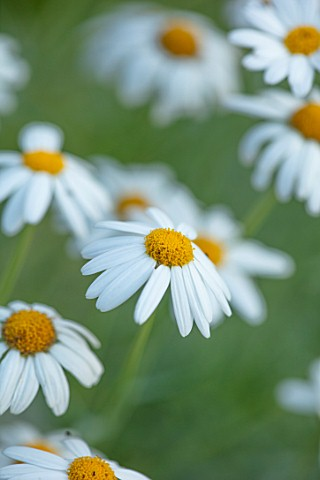 WHICHFORD_POTTERY_WARWICKSHIRE_PLANT_PORTRAIT_OF_WHITE_YELLOW_FLOWERS_OF_ARGYRANTHEMUM_FOENICULACEUM