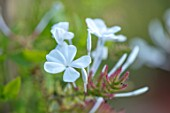 WHICHFORD POTTERY, WARWICKSHIRE: PLANT PORTRAIT OF WHITE, FLOWERS OF PLUMBAGO AURICULATA ALBUM, SHRUBS, CLIMBERS