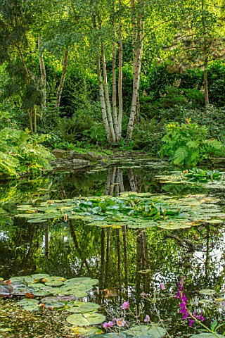 MORTON_HALL_WORCESTERSHIRE_THE_STROLL_GARDEN_IN_AUGUST_WATER_POOL_POND_WATER_LILIES_BIRCHES_REFLECTE