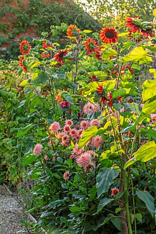 ULTING_WICK_ESSEX_BORDER_BESIDE_WALL__DAHLIA_PREFERENCE_AND_SUNFLOWER__HELIANTHUS_VELVET_QUEEN_ANNUA