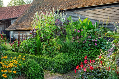 ULTING_WICK_ESSEX_EXOTIC_BORDERS_BOX_HEDGING_BANANAS_PERSICARIA_ORINTALIS_ARUNDO_DONAX_VARIEGATA_DAH