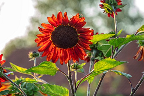 ULTING_WICK_ESSEX_CLOSE_UP_OF_SUNFLOWERS_BROWN_RED_FLOWERS_OF_SUNFLOWER_HELIANTHUS_VELVET_QUEEN_PETA