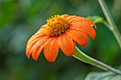 ULTING WICK, ESSEX: CLOSE UP OF ORANGE FLOWERS OF TITHONIA ROTUNDIFOLIA TORCH, MEXICAN SUNFLOWER, PERENNIALS, BLOOMS, FLOWERING, BLOOMING