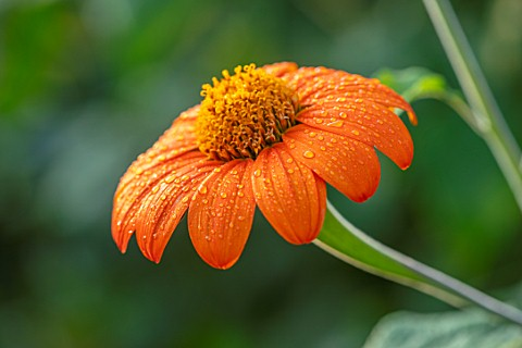ULTING_WICK_ESSEX_CLOSE_UP_OF_ORANGE_FLOWERS_OF_TITHONIA_ROTUNDIFOLIA_TORCH_MEXICAN_SUNFLOWER_PERENN