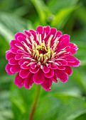 ULTING WICK, ESSEX: CLOSE UP OF PINK FLOWERS OF ZINNIA. BLOOMS, FLOWERING, BLOOMING, FALL, SEPTEMBER, ANNUALS