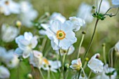 THE PICTON GARDEN AND OLD COURT NURSERIES, WORCESTERSHIRE: CLOSE UP OF WHITE FLOWERS OF JAPANESE ANEMONE X JAPONICA ANDREA ATKINSON. PERENNIALS, FLOWERING, PETALS