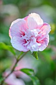 THE PICTON GARDEN AND OLD COURT NURSERIES, WORCESTERSHIRE: CLOSE UP OF WHITE, PINK FLOWERS OF HIBISCUS SYRIACUS PINK CHIFFON, DOUBLE, FLOWERING, TREE, PETALS