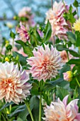 GREEN AND GORGEOUS FLOWERS, OXFORDSHIRE: CLOSE UP OF CREAM, PASTEL, PINK, PALE FLOWERS OF DAHLIA CAFE AU LAIT, SEPTEMBER