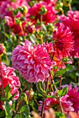 GREEN AND GORGEOUS FLOWERS, OXFORDSHIRE: CLOSE UP OF PINK FLOWERS OF DAHLIA ISLANDER, SEPTEMBER, BULBS, BLOOMING, FALL, AUTUMN, FLOWERING