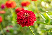 GREEN AND GORGEOUS FLOWERS, OXFORDSHIRE: CLOSE UP OF RED FLOWERS OF ZINNIA BANARYS GIANT, SEPTEMBER, BULBS, BLOOMING, FALL, AUTUMN, FLOWERING, ANNUALS