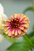 GREEN AND GORGEOUS FLOWERS, OXFORDSHIRE: CLOSE UP PORTRAIT OF THE PINK, RED, YELLOW, PASTEL, FLOWERS OF ZINNIA QUEEN RED LIME, ANNUALS, FALL, BLOOMING, AUTUMN