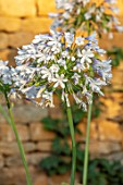 PETRA HOYER MILLAR GARDEN, OXFORDSHIRE: CASTLE END HOUSE - CLOSE UP OF WHITE, BLUE FLOWERS OF AGAPANTHUS QUEEN MUM. FALL, AUTUMN, PERENNIALS, BLOOMS, BLOOMING