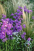 BRIDGE NURSERY, WARWICKSHIRE: CLOSE UP OF PINK FLOWERS OF MICHAELMAS DAISY, ASTER AMELLUS LOUISE, STIPA TENUISSIMA, SEPTEMBER, FLOWERING, PERENNIALS, FALL