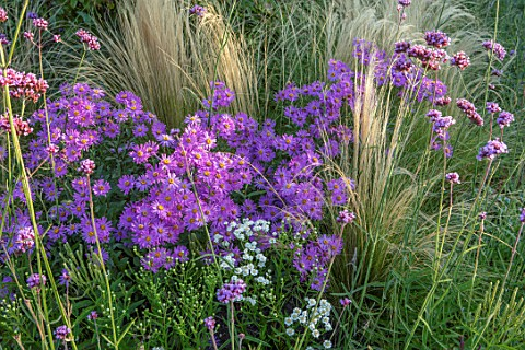 BRIDGE_NURSERY_WARWICKSHIRE_CLOSE_UP_OF_PINK_FLOWERS_OF_MICHAELMAS_DAISY_ASTER_AMELLUS_LOUISE_STIPA_