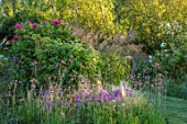 BRIDGE NURSERY, WARWICKSHIRE: BORDER WITH MICHAELMAS DAISY, ASTER AMELLUS LOUISE, STIPA TENUISSIMA, ROSE- ROSA RUGOSA HANSA, SEPTEMBER, GARDENS, BLOOMS