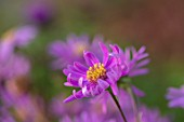 BRIDGE NURSERY, WARWICKSHIRE: CLOSE UP PORTRAIT OF PINK, BLUE, FLOWERS OF MICHAELMAS DAISY, ASTER AMELLUS LOUISE, SEPTEMBER, FALL, FLOWERING, FLOWERS