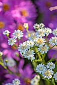 BRIDGE NURSERY, WARWICKSHIRE: CLOSE UP PORTRAIT OF THE WHITE FLOWERS OF SOLIDAGO PTARMICOIDES, ASTER PTARMICOIDES, FLOWERING , FALL, BLOOMS, BLOOMING