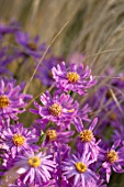 BRIDGE NURSERY, WARWICKSHIRE: CLOSE UP OF PINK FLOWERS OF MICHAELMAS DAISY, ASTER AMELLUS LOUISE, SEPTEMBER, FLOWERING, PERENNIALS, FALL