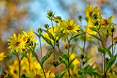 BRIDGE NURSERY, WARWICKSHIRE: YELLOW FLOWERS OF HELIANTHUS LEMON QUEEN, PERENNIALS, SUNFLOWERS, FALL, AUTUMN, SEPTEMBER, FLOWERING, BLOOMING