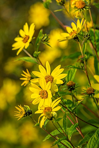 BRIDGE_NURSERY_WARWICKSHIRE_YELLOW_FLOWERS_OF_HELIANTHUS_LEMON_QUEEN_PERENNIALS_SUNFLOWERS_FALL_AUTU