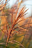 BRIDGE NURSERY, WARWICKSHIRE: BROWN, GOLDEN GRASS - MISCANTHUS SINENSIS SILBERFEDER, ORNAMENTAL, FALL, AUTUMN, SEPTEMBER
