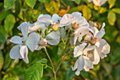 BRIDGE NURSERY, WARWICKSHIRE: CREAM, WHITE, PEACH FLOWERS OF ROSE - ROSA SALLY HOLMES. FALL, AUTUMN, SEPTEMBER, PERENNIALS, BLOOMING, FLOWERING, DECIDUOUS, SHRUBS