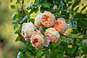 MITTON MANOR, STAFFORDSHIRE: CLOSE UP APRICOT, ORANGE FLOWERS OF ROSE - ROSA CROWN PRINCESS MARGARETA, SEPTEMBER, FALL, BLOOMS, BLOOMING, SHRUBS