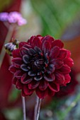 MITTON MANOR, STAFFORDSHIRE: CLOSE UP OF DARK RED FLOWERS OF DAHLIA KARMA CHOC, SEPTEMBER, PERENNIALS, FALL, BLOOMS, BLOOMING, DECORATIVE