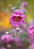 THE PICTON GARDEN AND OLD COURT NURSERIES, WORCESTERSHIRE: CLOSE UP OF PINK FLOWERS OF JAPANESE ANEMONE HUPEHENSIS VAR JAPONICA PAMINA. PERENNIALS, FLOWERING, PETALS