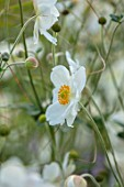 THE PICTON GARDEN AND OLD COURT NURSERIES, WORCESTERSHIRE: CLOSE UP PORTRAIT OF WHITE FLOWERS OF ANEMONE ANDREA ATKINSON. PERENNIALS, FALL, SEPTEMBER, AUTUMN