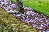 ROCKCLIFFE GARDEN, GLOUCESTERSHIRE: CYCLAMEN HEDERIFOLIUM BENEATH PLEACHED LIME TREES BESIDE LAWN. SEPTEMBER