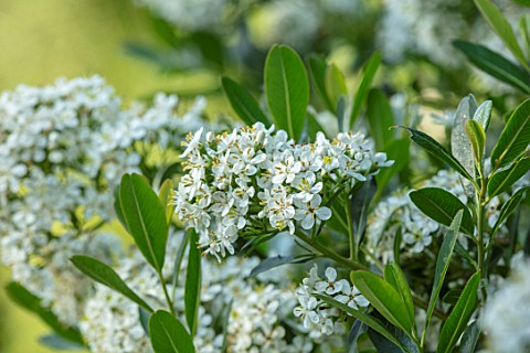ROCKCLIFFE_GARDEN_GLOUCESTERSHIRE_WHITE_FLOWERS_OF_ESCALLONIA_IVEYI_EVERGREEN_SHRUBS_FLOWERING_AGM
