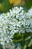 ROCKCLIFFE GARDEN, GLOUCESTERSHIRE: WHITE FLOWERS OF ESCALLONIA IVEYI, EVERGREEN, SHRUBS, FLOWERING, AGM