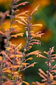 THE PICTON GARDEN AND OLD COURT NURSERIES, WORCESTERSHIRE: CLOSE UP PORTRAIT OF ORANGE FLOWERS OF AGASTACHE AURANTIACA NAVAJO SUNSET. PERENNIALS, FALL, SEPTEMBER
