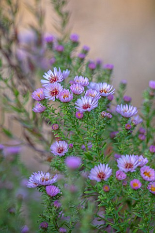 PETRA_HOYER_MILLAR_GARDEN_OXFORDSHIRE_CASTLE_END_HOUSE__CLOSE_UP_PORTRAIT_OF_PINK_FLOWERS_OF_ASTER_K