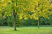 MORTON HALL, WORCESTERSHIRE: PARK, YELLOW LEAVES OF TREES - FRAXINUS EXCELSIOR JASPIDEA, TREES, OCTOBER, FALL, AUTUMN