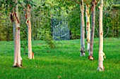 MORTON HALL, WORCESTERSHIRE: BARK, TRUNKS OF BIRCH TREES, BETULA, GATE IN BACKGROUND, TREES, OCTOBER, FALL, AUTUMN