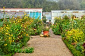 FORDE ABBEY, SOMERSET: THE KITCHEN GARDEN IN AUTUMN, FALL, OCTOBER, MIST, FOG, BORDERS, TERRACOTTA CONTAINER, GREENHOUSE