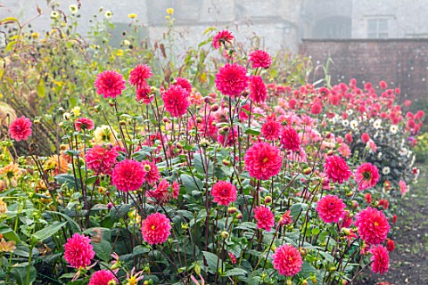 FORDE_ABBEY_SOMERSET_THE_KITCHEN_GARDEN_IN_AUTUMN_OCTOBER_FALL_MIST_FOG_BORDERS_DAHLIAS