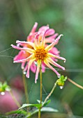 FORDE ABBEY, SOMERSET: CLOSE UP OF PINK DAHLIA BABY ROYAL IN MIST, FOG, WITH COBWEBS, FALL, FLOWERING, BLOOMING, AUTUMN, BLOOMS, FLOWERS, PINK, YELLOW