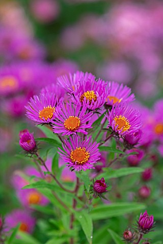 THE_PICTON_GARDEN_AND_OLD_COURT_NURSERIES_WORCESTERSHIRE_ASTER_SYMPHYOTRICHUM_NOVAE_ANGLIAE_ANDENKEN