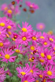 THE PICTON GARDEN AND OLD COURT NURSERIES, WORCESTERSHIRE: PINK FLOWERS OF CHRYSANTHEMUM TAPESTRY ROSE, AUTUMN, FLOWERING, PERENNIALS, BLOOMS, FALL