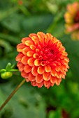 THE PICTON GARDEN AND OLD COURT NURSERIES, WORCESTERSHIRE: PLANT PORTRAIT OF ORANGE FLOWERS OF DAHLIA BROWN SUGAR, PERENNIALS