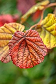 THE PICTON GARDEN AND OLD COURT NURSERIES, WORCESTERSHIRE: PLANT PORTRAIT OF LEAVES OF CORYLUS AVELLANA RED MAJESTIC, HAZELS, SHRUBS, FOLIAGE, FALL