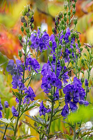 THE_PICTON_GARDEN_AND_OLD_COURT_NURSERIES_WORCESTERSHIRE_BLUE_PURPLE_FLOWERS_OF_ACONITUM_CARMICHAELI