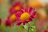 HILL CLOSE GARDENS, WARWICK: CLOSE UP OF RED FLOWER OF CHRYSANTHEMUM BELLE. PERENNIALS, FLOWERS, BLOOMS, BEDDING, AUTUMN, FALL, HARDY
